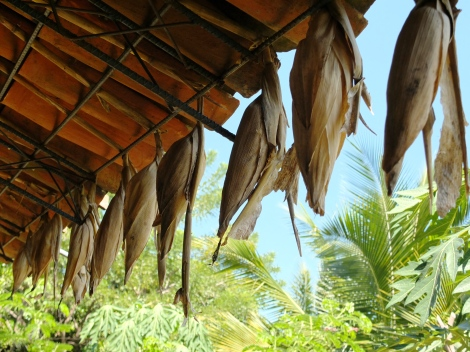 IPES seedbank and drying maiz (2)